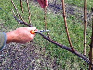 pruning_vines_03